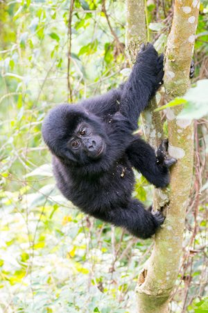 African Pearl Safaris : GORILLAS IN BWINDI IMPENERTRABLE FOREST