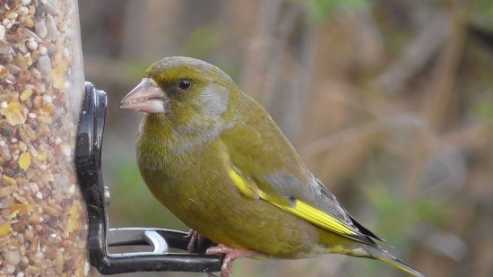 Burgh St Peter, UK: Greenfinch on feeder