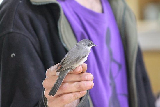 The Jerusalem Bird Observatory: This bird was weighed, measured, checked and ringed and of course, set free again.