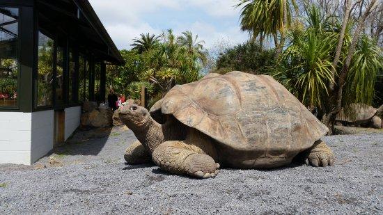 Auckland Zoo : Giant Galapagos Tortoise