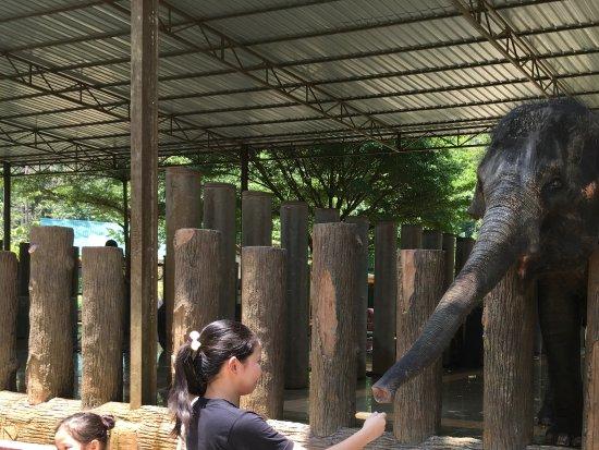 Pahang, Malaysia: Feeding the baby elephant with sugarcane