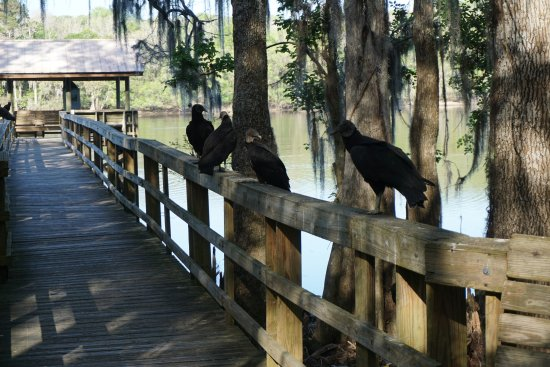 Chiefland, FL: Vultures guarding the walkway