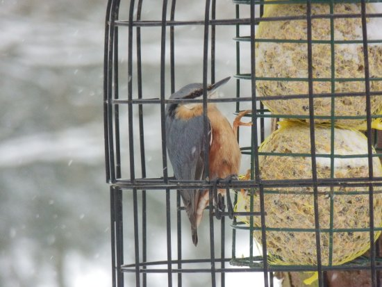 Hope, UK: Nuthatch on Underleigh's bird feeder