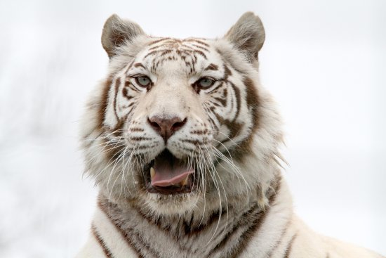 Smarden, UK: White Tiger