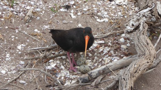 Waiheke Island, New Zealand: Oyster Catcher