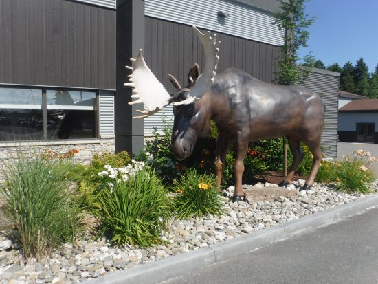 Matane, Canadá: Moose in the front garden outside the Quality Inn