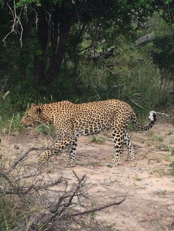 Mala Mala Private Game Reserve, Afrika Selatan: Amazing game drives at MalaMala....