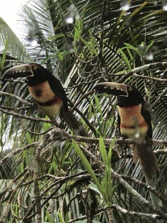 Belmopan, Belize: Beautiful birds outside our bedroom window two days in a row!!!