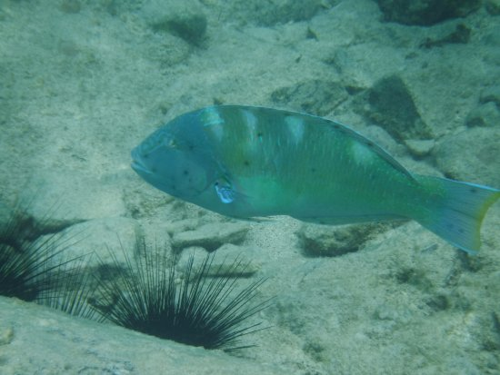 Oyster Pond, St. Maarten-St. Martin: Parrotfish at Creole Rock
