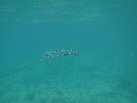 Oyster Pond, St. Maarten-St. Martin: Spotted eagle ray at little bay!