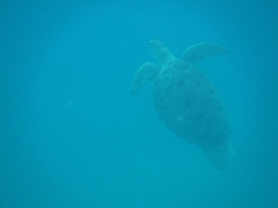 Oyster Pond, St-Martin/St Maarten : Swimming with a sea turtle at Tintamarre.