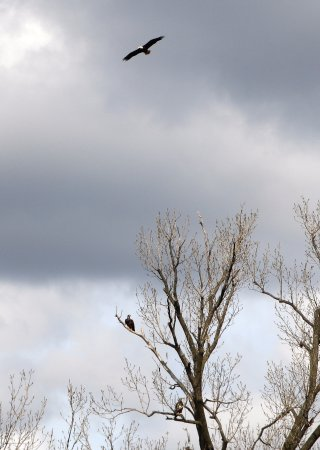 Tiptonville, TN: Eagles Near Reelfoot Lake (over by the River)