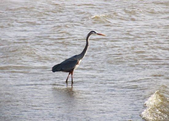 Buchanan, TN: A Heron Wades At the Shore of the Lake