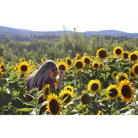 Hopewell Junction, Nova York: Sunflower field