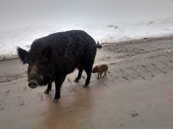 Montebello, Canada: Moma pig