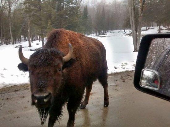 Montebello, Canadá: Buffalo greeter