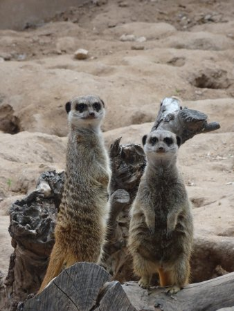 Litchfield Park, Аризона: Meerkats