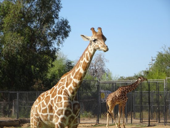 Litchfield Park, Аризона: Giraffes