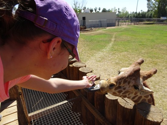 Litchfield Park, AZ: Feeding the giraffes for just fifty cents