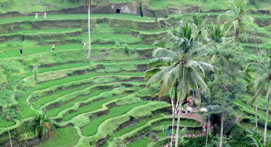 Private Bali Tours - Day Tours: The rice terraces