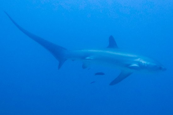 Malapascua Island, Filipinas: Thresher shark