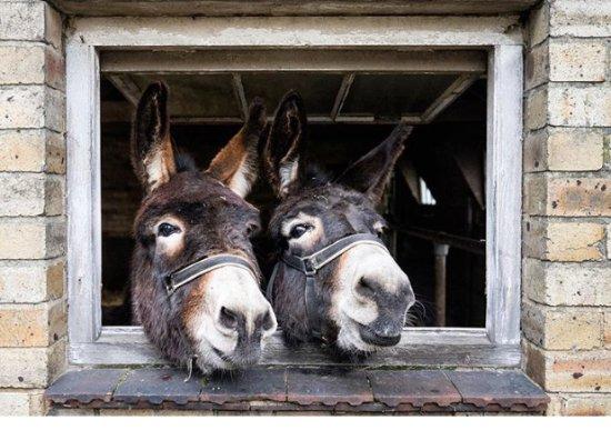 Stocksfield, UK: Donkeys at Wheelbirks Parlour