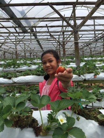 Tanah Rata, Malaysia: Happy Strawberry Picker