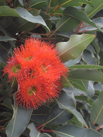 Queenscliff, Australia: Gum flowers setting the scene at the station