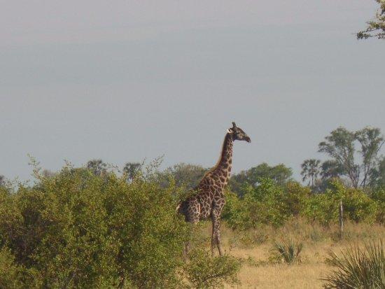 Maun, Botswana: giraffe