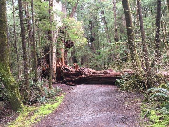 Quinault Big Cedar