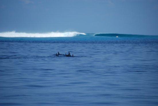 Thulusdhoo Island: Dolphins near surf break