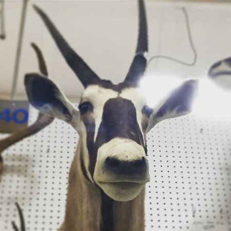 Grain Valley, MO: taxidermy