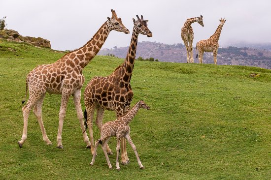 Escondido, CA: San Diego Zoo Safari Park Giraffes