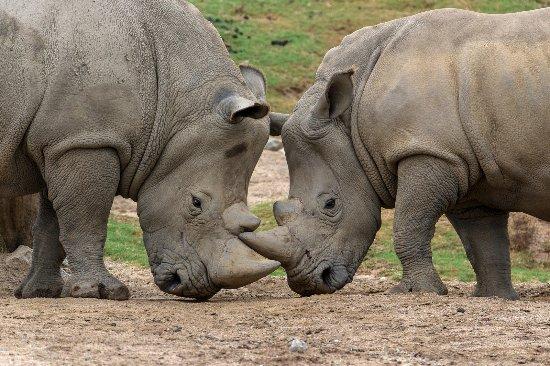 Escondido, CA: San Diego Zoo Safari Park Rhinos