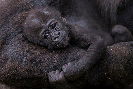 Escondido, CA: San Diego Zoo Safari Park Gorilla