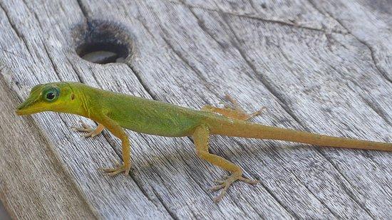 Vermont Nature Trail: a lizard (St.Vincent Bush Anole)