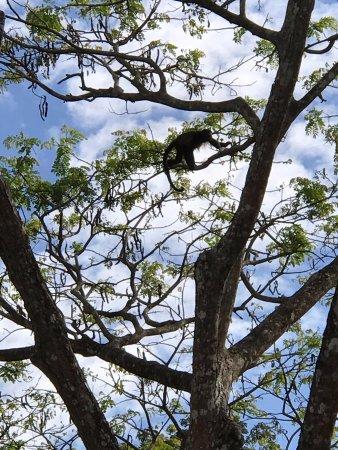 Tambor, Kosta Rika: Monkey (from our balcony)