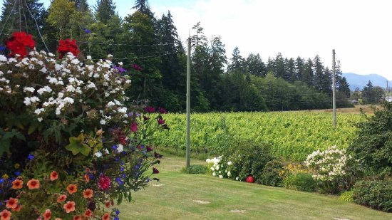 Port Alberni, Canadá: View of our Madeline Angevine grape vineyard