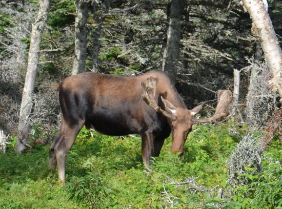 Cabot Trail: along the trail a moose doing it's own business