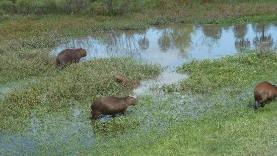 Colon, الأرجنتين: Famiglia di capibara