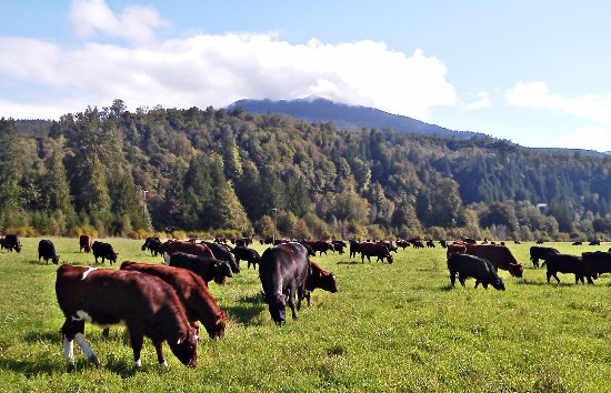 Concrete, WA: Cattle grazing at the ranch