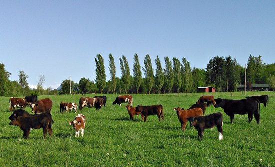 Concrete, WA: Cattle grazing in the spring