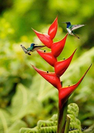 La Virgen, Costa Rica: Hummingbird/Colibri Photography. Photo copyright Petra Dolezalova