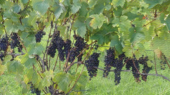 Waiheke Island, New Zealand: Grapes getting close to harvest time at Waiheke