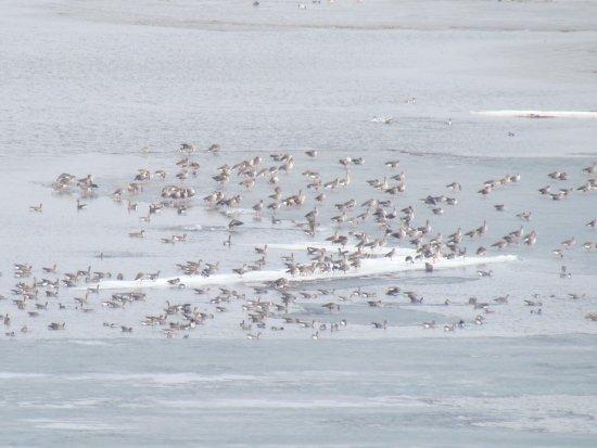 Sverdlovka, Ukraine: весенний перелет диких гусей