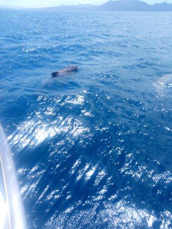 Trois-Ilets, Martinique: Dauphins au large de FORT DE FRANCE