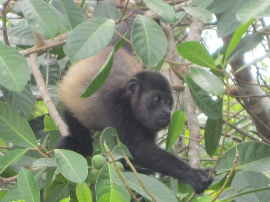 Hotel Parador: Baby howler monkey at the resort beach