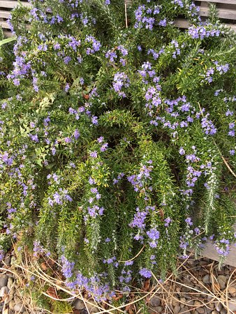 Chester Beatty Library: rosemary in the garden