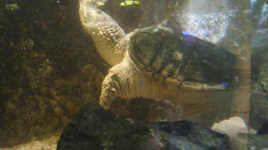 Akwarium Gdynskie MIR: zółw wodny