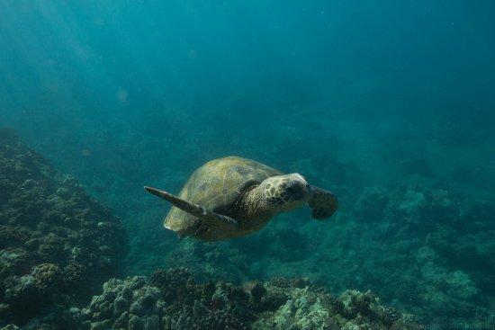 Wailuku, HI: Sea turtle